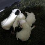 Parson Jack Russell Terrier Welpen vom Hagen
