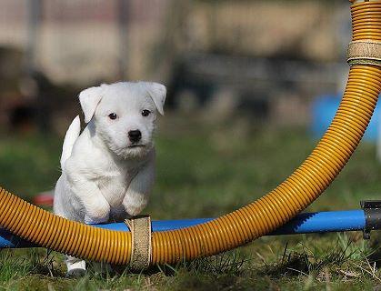 Parson Jack Russell Terrier Zucht
